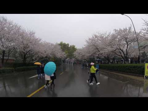 China Hubei Wuhan University Cherry Blossom Trip - 武大櫻花