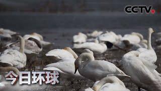 河南三门峡:2000多只白天鹅栖息越冬 |《今日环球》CCTV中文国际 - YouTube