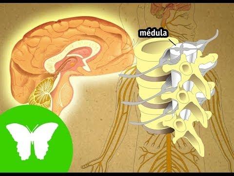 la-eduteca---el-sistema-nervioso