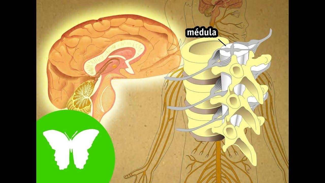 La Eduteca - El sistema nervioso - YouTube