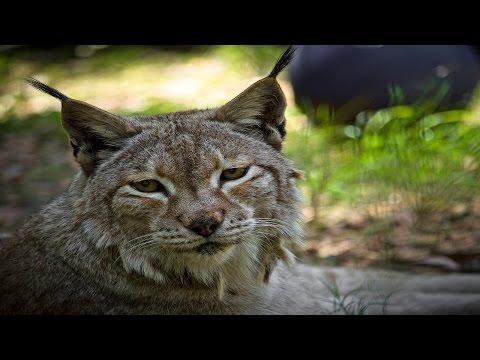 Farewell Natasha Siberian Lynx