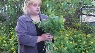 видео Болиголов - лечебные свойства и противопоказания, инструкция по применению настойки травы от рака