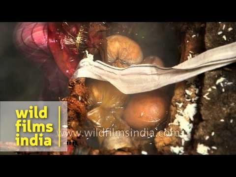 Cooking rice in hot spring at Surya Kund at Yamunotri Temple : Uttarakhand