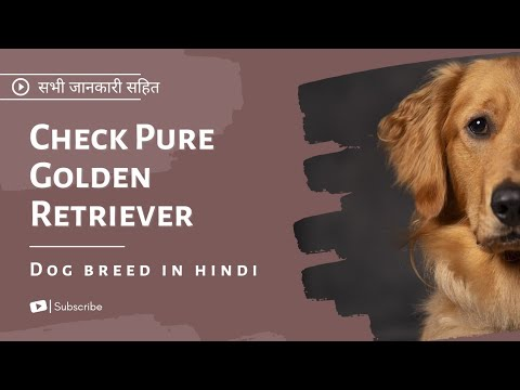 How to check pure golden retriever dog breed in hindi