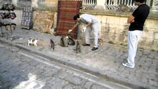 Турецкие Кошки