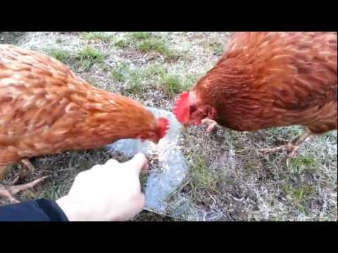 Stupid chickens deceived by ice
