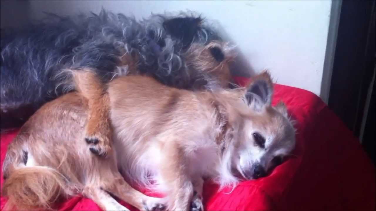 Cutest Cuddling Dogs Chihuahua And Jack Russell Yorkie Cross