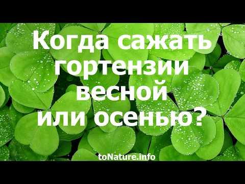 Когда сажать гортензии весной или осенью?