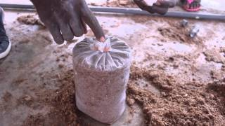 Oyster Mushroom Farming at the Kumasi Institute of Tropical Agriculture (KITA) -- Peace Corps Ghana