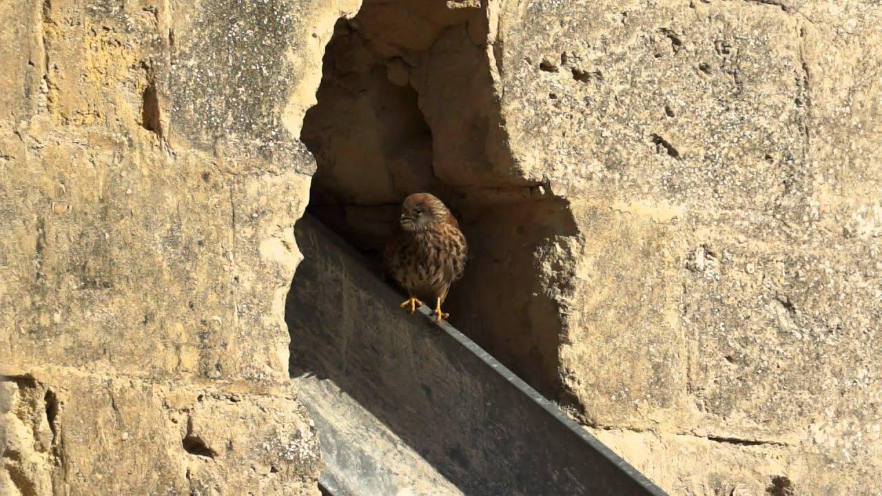 Baby Bird of Prey, Matera Italy 2012 - YouTube