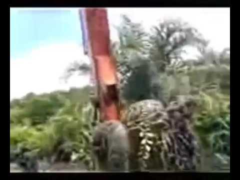 Ular Terbesar Di Dunia Ini Ternyata Ada Di Kalimantan