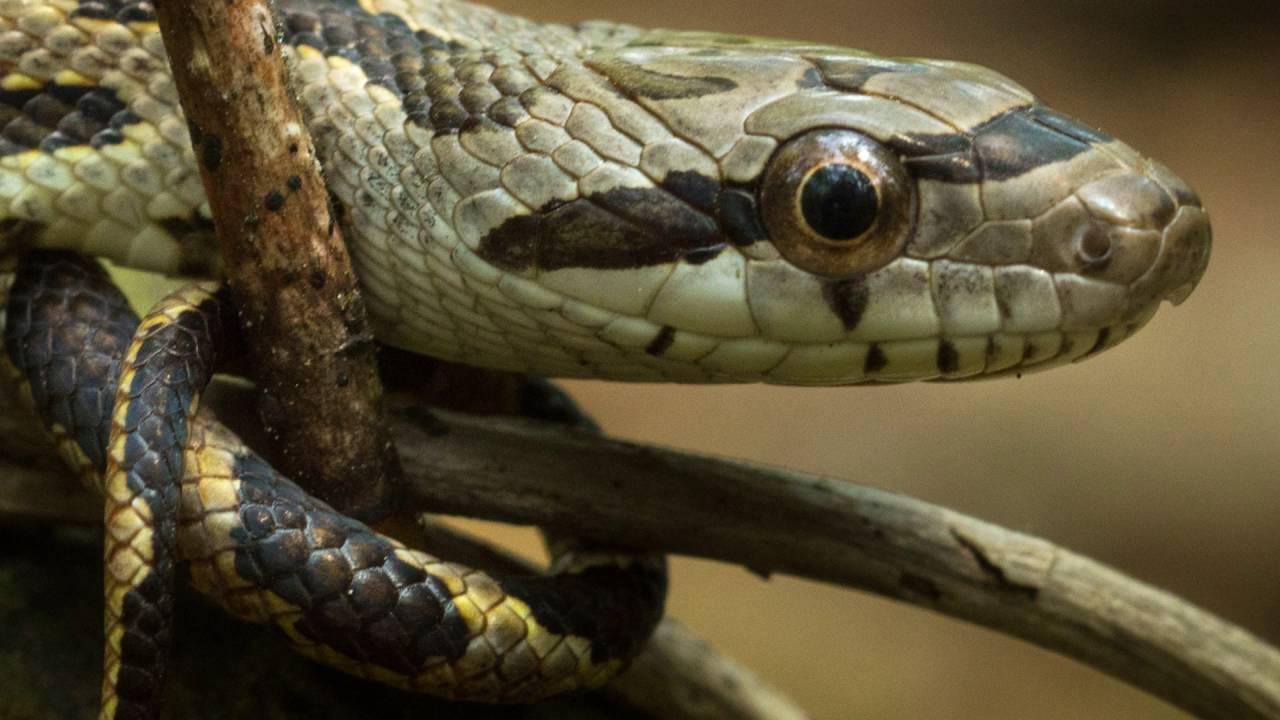 Texas Rat Snake Facts Bravest Snake In America Youtube