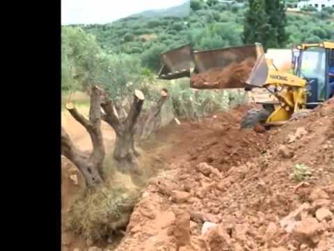 Transplanting of Olive Trees for the railway line construction