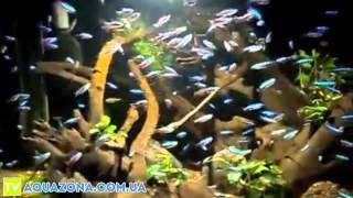 Неон крассный - маленькие рыбки для аквариума купить(Неон крассный - маленькие рыбки для аквариума купить., 2014-02-10T21:12:34.000Z)