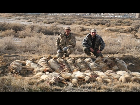 Coyote Calling Contest Tips- How Calling Contests Work!  Part 1