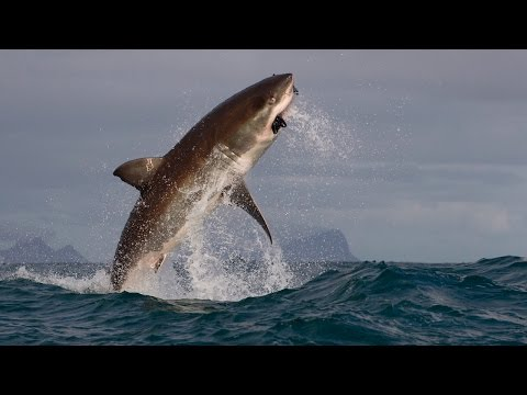 Great White Shark Breach - Natural Born Thrillers