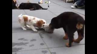 Rottweiler En Cavalier Pup Spelen Met De Doggie Tail