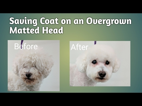 Saving Coat on a Overgrown Matted Head