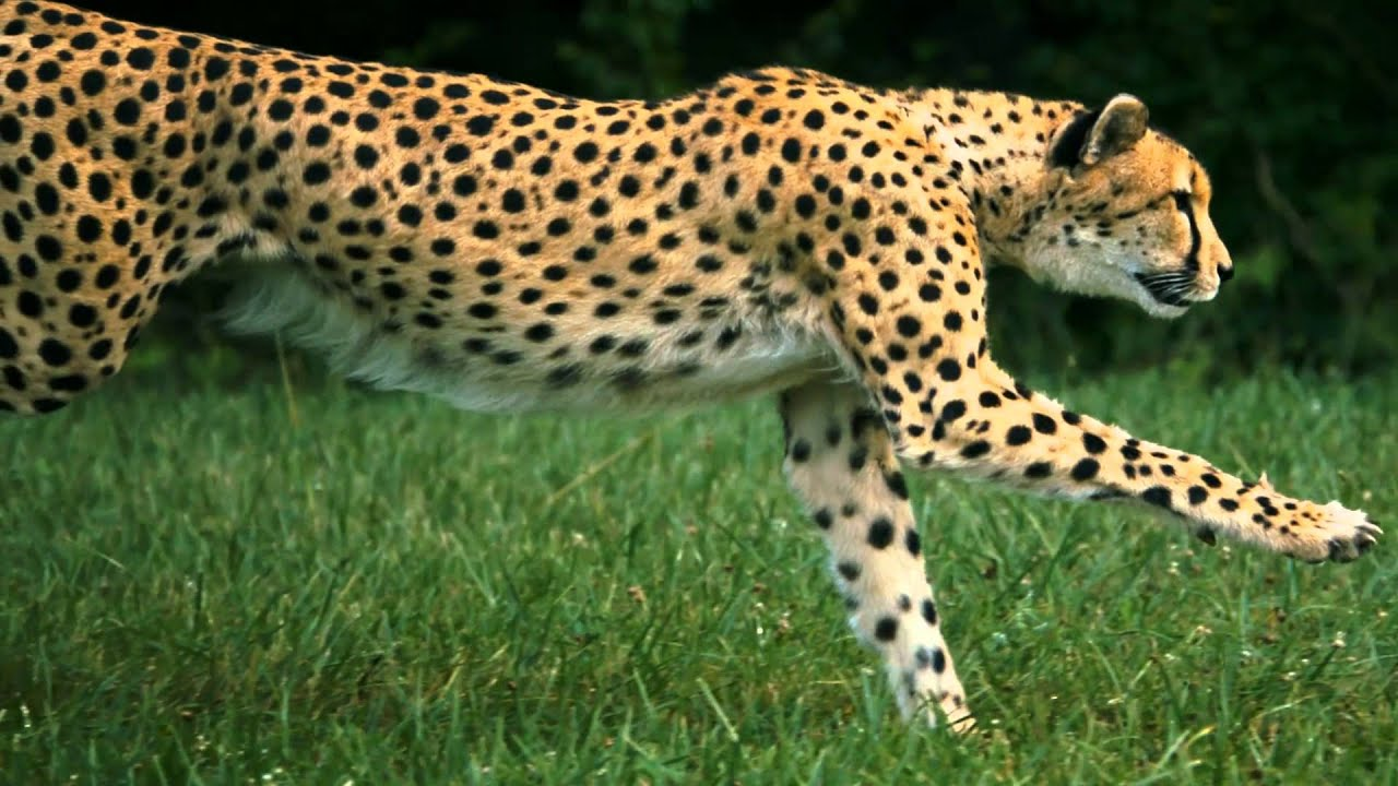 Leopard Animal Print Wallpaper Guepardo Corriendo A Camara Super Lenta Youtube