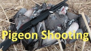 Pigeon Shooting after the Early Harvest