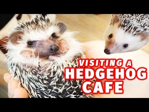 Visiting a Hedgehog Cafe in Japan
