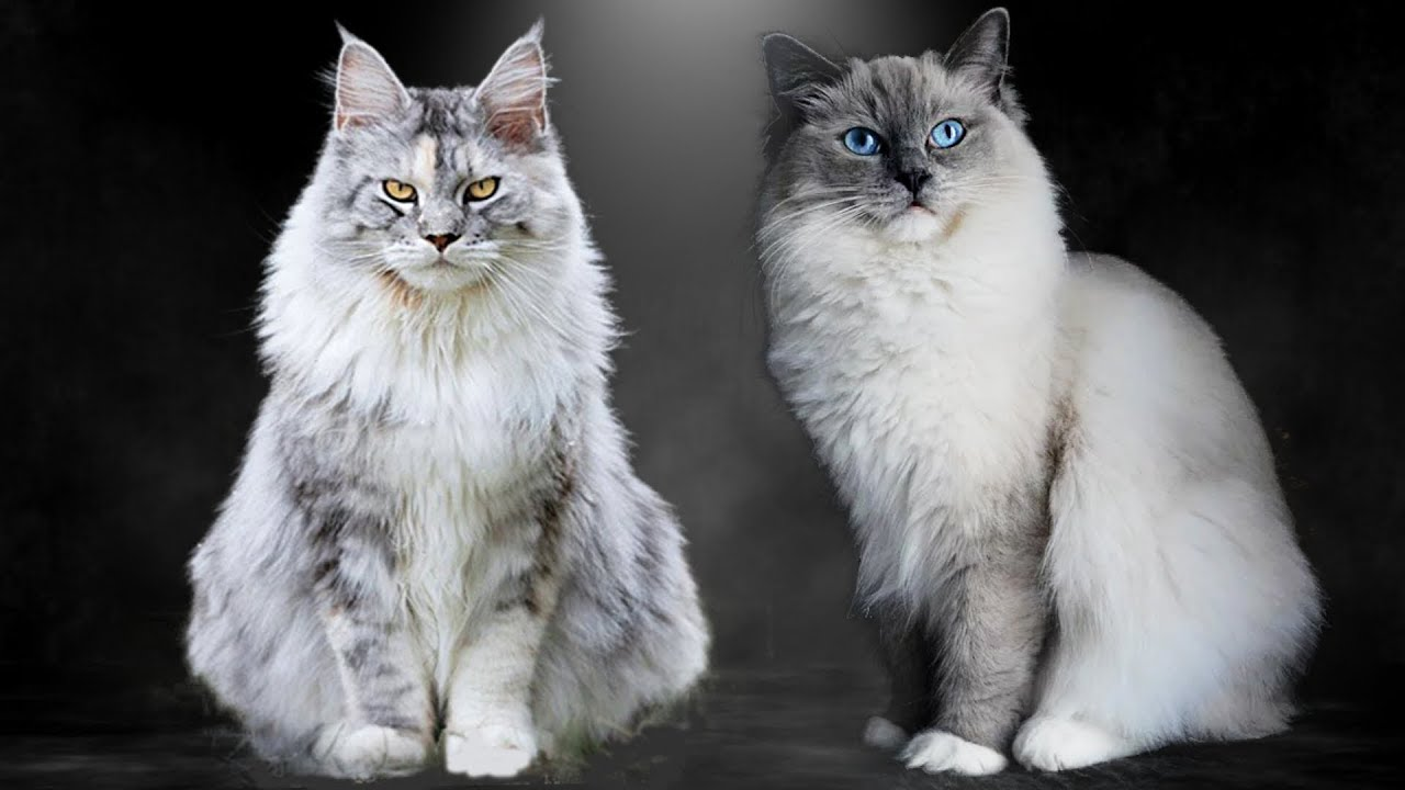 Maine Coon vs Ragdoll - What Are the Differences?