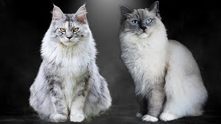 Maine Coon vs Ragdoll  What Are the Differences?