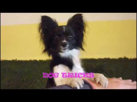 Papillon - dog tricks