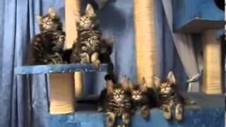 Прикольные кошки веселые поющие кошки Забавно смотреть!!(Вам нравится смотреть смешные видео и приколы с животными - кошками, котами, и котятами? Эти милые животные..., 2013-12-26T11:36:47.000Z)