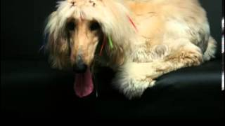 Afghan Hound Facts - Facts About Afghan Hounds