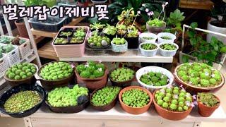 2월 꽃이 만발한 벌레잡이제비꽃 건강한 뿌리 확인