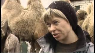 В Челябинске выбирают имя для новорожденного верблюда
