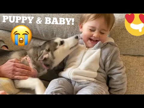 Husky Puppy Scares & Hurts Baby But Says Sorry & Becomes Best Friends! [READ DESCRIPTION!]