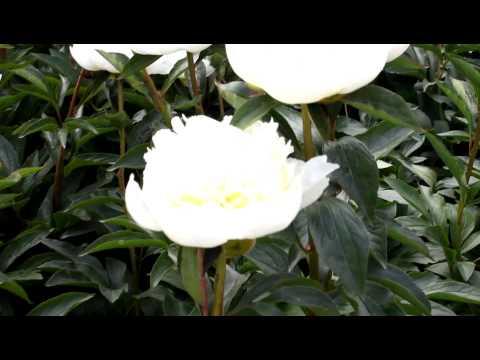 Lactiflora Duchesse de Nemours | R2 Flowers BV | Peonies