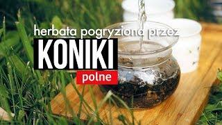 Herbata pogryziona przez koniki polne? Czajnikowy.pl