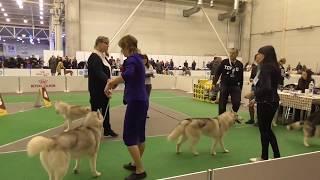 """#huskiesterra, #husky, #хаски  Подготовка к выставке собак """"Киевская Русь 2018"""""""