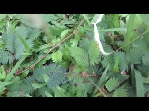 Lajjawati plant