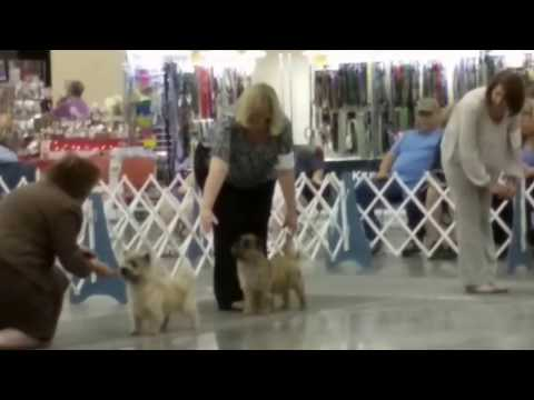 Best of breed Cairn Terriers 7/14/17 by Judge Mrs Cheryl Myers-Egerton