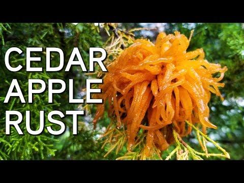 CEDAR APPLE RUST | Save Your Apple Trees!