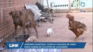 Amizade inusitada: cadela e galinha se unem para cuidar de filhotes
