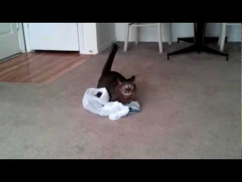 Cat Scares Self With Plastic Bag