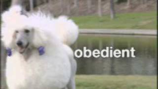 Dog Breed Video: The Standard Poodle