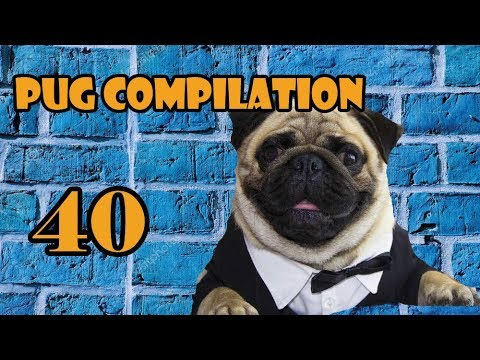 Pug Compilation 40 NEW ! - Funny Dogs but only Pug Videos | Instapugs