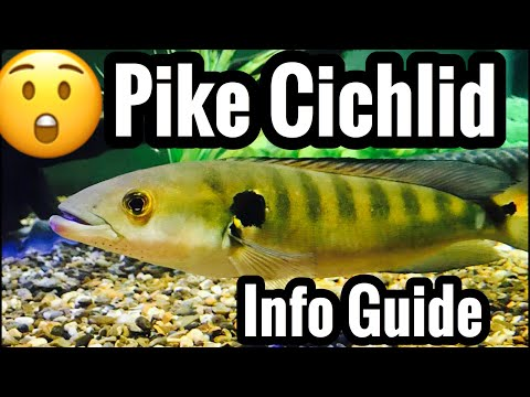 Pike Cichlid Care Info - Feeding & Tank Mates?