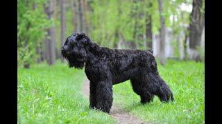 Русский Чёрный Терьер порода - ОГРОМНАЯ СОБАКА В ДОМЕ ! Большие собаки и все про них