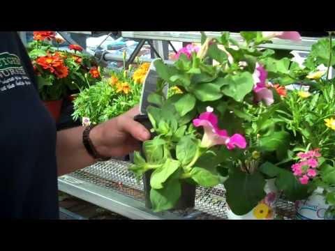 Deadheading Flowering Annual Plants