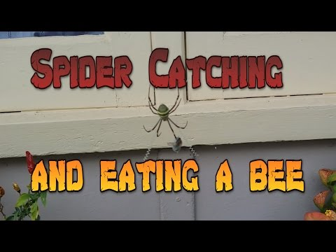 St Andrews Cross Spider catching and eating a bee