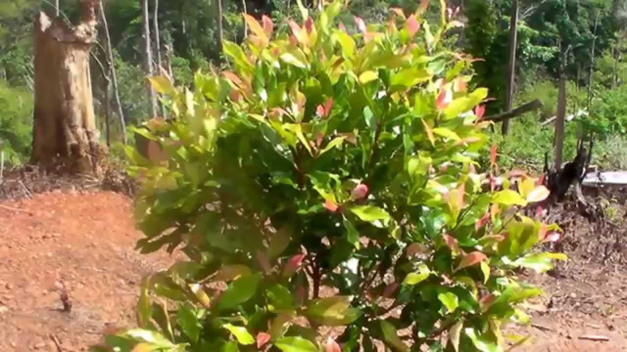 Demplot tanaman cengkeh di desa ponggerang kab donggala prov sulawesi tengah 085340004600 youtube