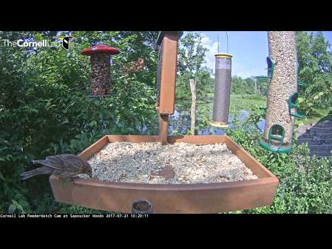 Long Visit From Juvenile Brown-headed Cowbird on the Cornell Feeders – July 21, 2017