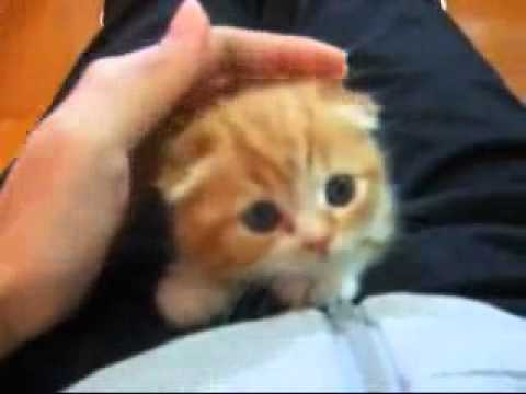 Cute Scottish Fold Kitten!